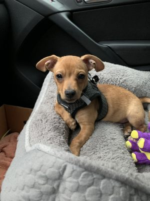 willie-the-chiweenie-Nashville